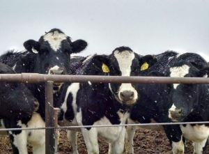 dairy operation